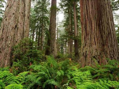 郑州青旅,河南青旅,郑州旅行社,新 西兰红木森林公园