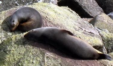 河南旅行社,河南青旅,郑州青旅,新 西兰逆风角海豹栖息地