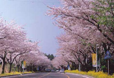 郑州旅游公司,河南旅游公司,郑州青年旅行社,韩 国樱花大道